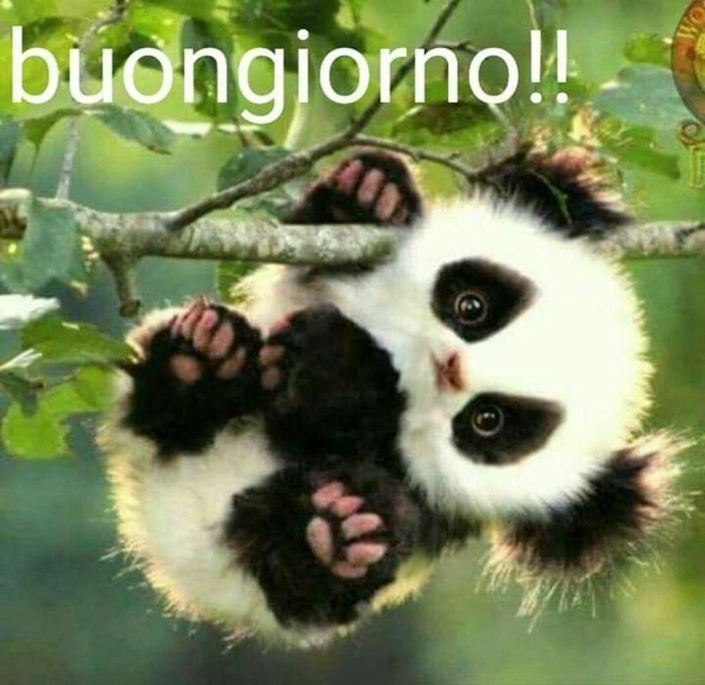 Buongiorno panda